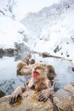 Macacos da neve Fotografia de Stock Royalty Free