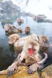 Macacos da neve Foto de Stock