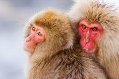 Macacos da neve Imagem de Stock