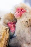 Macacos da neve Fotos de Stock