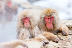 Macacos da neve Imagem de Stock Royalty Free