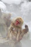 Macacos da neve na mola quente Fotos de Stock Royalty Free