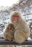 Macacos da neve na mola quente Imagens de Stock Royalty Free