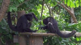 macacos de aranha Brown-dirigidos que alimentam - tiro largo 4k video estoque