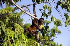 Macacos de aranha do gênero Ateles Imagens de Stock