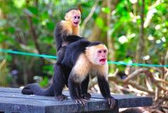 Macacos de aranha que gritam imagem de stock
