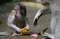Macacos de Bali fotografia de stock royalty free