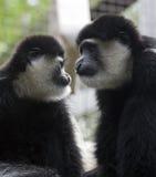 Macacos de Colobus Fotografia de Stock Royalty Free