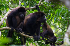 Macacos de furo na selva Imagens de Stock Royalty Free