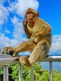 Macacos de Gibraltar imagem de stock