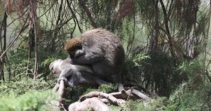 Macacos de Grivet na árvore video estoque