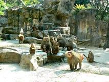 Macacos de Hamadryad Imagem de Stock Royalty Free