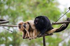 Macacos de Howler Foto de Stock Royalty Free