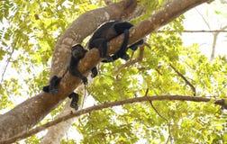 Macacos de Howler cuidadosos Fotografia de Stock