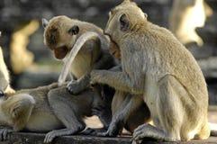 Macacos de la India que se acoplan en Angkor Wat Imagen de archivo