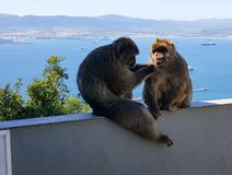 Macacos de macaque de Barbary que sentam-se em uma cerca, Gibraltar com mar em um dia ensolarado Fotos de Stock Royalty Free