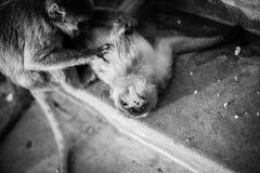 Macacos de macaque selvagens que limpam-se Imagens de Stock Royalty Free