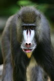 Macacos de Mandrill Foto de Stock Royalty Free
