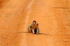 Macacos de Patas em uma estrada de terra Foto de Stock Royalty Free