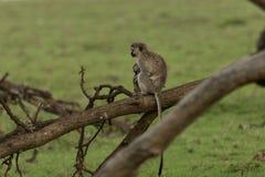 Macacos de vervet da mãe e do bebê que sentam-se em uma árvore Foto de Stock