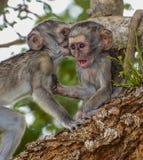 Macacos de vervet do bebê da bisbilhotice Foto de Stock