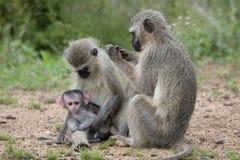 Macacos de Vervet no parque nacional de Kruger Foto de Stock Royalty Free