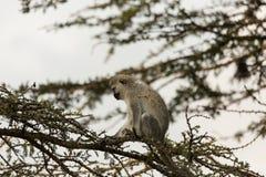 Macacos de Vervet que sentam-se em uma árvore Fotografia de Stock