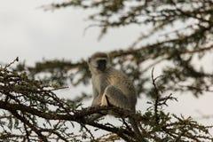 Macacos de Vervet que sentam-se em uma árvore Foto de Stock