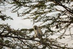Macacos de Vervet que sentam-se em uma árvore Imagem de Stock Royalty Free
