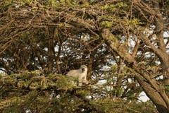 Macacos de Vervet que sentam-se em uma árvore Fotografia de Stock Royalty Free