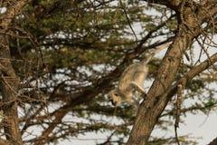 Macacos de Vervet que sentam-se em uma árvore Fotos de Stock
