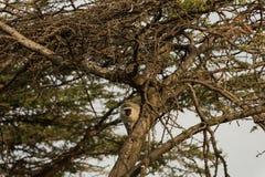 Macacos de Vervet que sentam-se em uma árvore Imagem de Stock