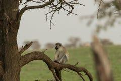 Macacos de Vervet que sentam-se em uma árvore Fotos de Stock Royalty Free