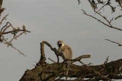 Macacos de Vervet que sentam-se em uma árvore Imagens de Stock Royalty Free