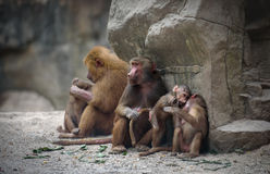 Macacos do babuíno de Hamadryas Imagens de Stock Royalty Free