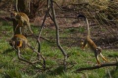 Macacos do bebê Fotografia de Stock