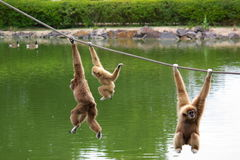 Macacos do Gibbon Foto de Stock