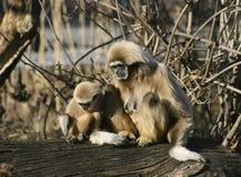 Macacos do Tamarin Fotos de Stock
