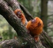 Macacos dourados do tamarin do leão Imagens de Stock Royalty Free