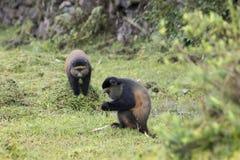 Macacos dourados postos em perigo, vulcões parque nacional, Ruanda foto de stock