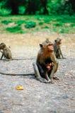 Macacos em Angkor Wat, Camboja Fotos de Stock Royalty Free