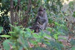 Macacos em Bali, Indonésia imagem de stock