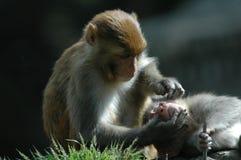 Macacos em Kathmandu Imagens de Stock