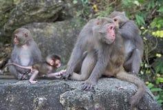 Macacos em Shoushan, montanha do macaco na cidade de Kaohsiung Imagens de Stock