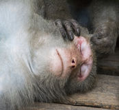 Macacos em Shoushan, montanha do macaco na cidade de Kaohsiung Imagens de Stock Royalty Free