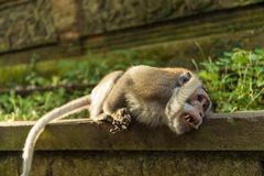 Macacos em Ubud Bali Fotos de Stock Royalty Free