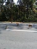 Macacos em uma greve foto de stock