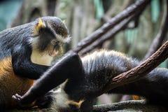 Macacos engraçados Fotografia de Stock