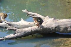Macacos engraçados Fotografia de Stock Royalty Free