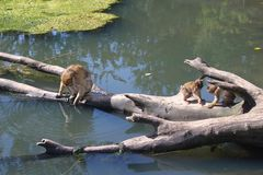 Macacos engraçados Foto de Stock Royalty Free